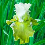 Going Green Iris