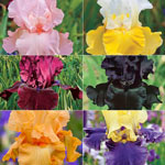 Iris Collections