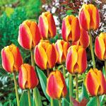 Apeldoorn's Elite Tulip