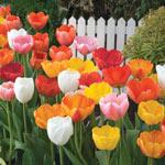 Darwin Hybrid Tulip Mixture