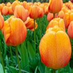 Blushing Apeldoorn Tulip