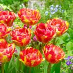 Sundowner Tulip
