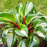 Raspberry Sundae Hosta