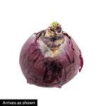 Dark Eyes Grape Hyacinth