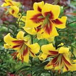 Robert Swanson Lily Tree®