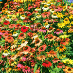 Cheyenne Spirit Coneflower Mixture Super Sak®