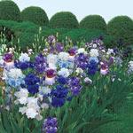 Singing the Blues Bearded Iris Mixture