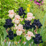 Sweet & Mysterious Bearded Iris Mixture
