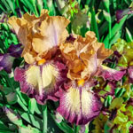 Peanut Butter and Raspberry Jam Reblooming Bearded Iris