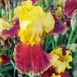 Razz Pizzazz Bearded Iris