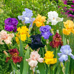 Bold Colours Iris Mixture