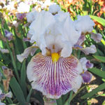 Head Games Bearded Iris