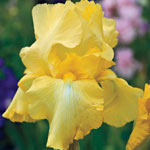 Reblooming Bearded Iris Collection A