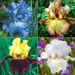 Reblooming Bearded Iris Collection B