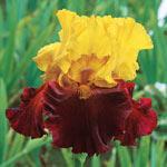 Winner's Circle Bearded Iris Collection