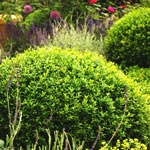 Boxwood Winter Gem Hedge