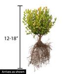 Boxwood Winter Gem Hedge