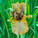 Monsoon Moon Bearded Iris