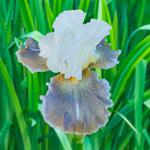 Ciel Gris Sur Poilly Bearded Iris
