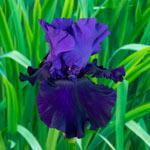 Belle Hortense Bearded Iris