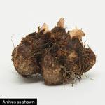 Everblooming Begonia Mixture
