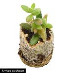 "Delosperma echinatum ""Pickle Plant"""