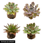 Thrills and Frills Echeveria Collection