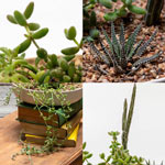 Weird and Wonderful Succulent Collection