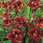 Chocolate Candy Daylily