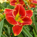 Fire and Fog Reblooming Daylily