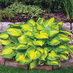 Lakeside Banana Bay Hosta