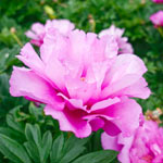 First Arrivival Itoh Peony