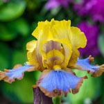 Brown Lasso Bearded Iris