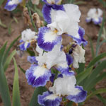 Mission Ridge Bearded Iris