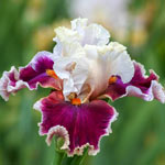 Breezin' Bearded Iris