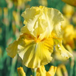 Pleasant Peasant Reblooming Bearded Iris