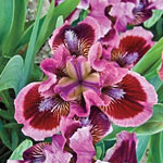 Breck's® Dwarf Bearded Iris Collection