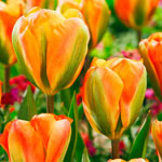 Orange Marmelade Tulip