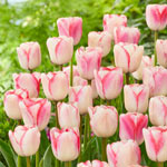 Peppermint Candy Tulip