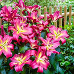 Empoli Lily Tree®