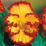 Yellow-Red Crispa Marginata Begonia
