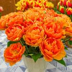 Orange Princess Tulip