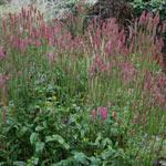 Blackthorn Bottlebrush