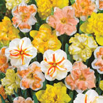 Butterfly Daffodil Mixture