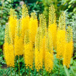 Yellow Foxtail Lily