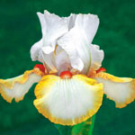 Halloween Halo Reblooming Bearded Iris