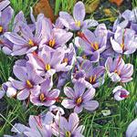 Saffron Fall Blooming Crocus