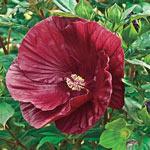 Cranberry Crush Hibiscus