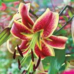 Scheherazade Turban Lily Tree®