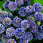 Columbine Plants - Aquilegia